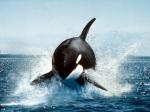 Kardszárnyú delfin (3) -1024x768