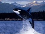 Kardszárnyú delfin (1) -1280x960