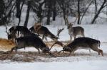 Csokonyavisonta, 2012. február 8. Dámszarvasbikák verekednek a hóban az etetőhelyen, egy erdei tisztáson, Csokonyavisonta környékén, a SEFAG Zrt. Lábodi Vadászerdészetének területén 2012. február 7-én. A vadászok etetéssel segítik a vadállomány áttelelését. (MTI Fotó: Kovács Attila)