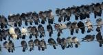 Debrecen, 2012. február 14. Villanyvezetéken pihenõ galambok ülnek egymás mellett a napsütésben, Debrecen közelében egy tanyánál. (MTI Fotó: Czeglédi Zsolt)