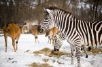 Zebrák és jávorantilopok a Nyíregyházi Állatparkban