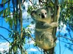 koala-wall