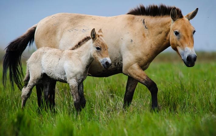 Przewlaski ló csikóval (Equus ferus przewalskii, ázsiai vadló) - MTI-fotó: Czeglédi Zsolt