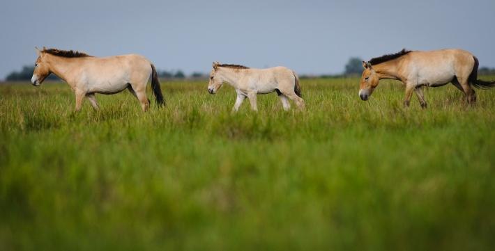Przewalski lovak (ázsiai vadlovak) a Hortobágyon - MTI-fotó: Czeglédi Zsolt [rákattintva a kép még nagyobb méretben jelenik meg]